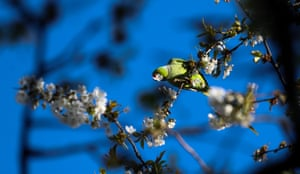 Green ring-necked (rose-ringed) parakeets feed from a cherry tree in blossom in a Twickenham garden, London