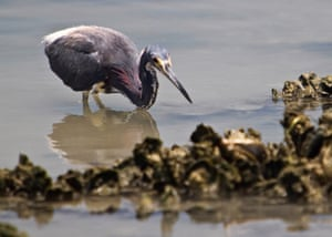 A tricolored Heron hunts for small fish at low tide among the exposed oyster reefs near Island Moorings Yacht Club and Marina in Port Aransas, Corpus Christi Bay, Texas. The Conservancy has helped protect more than 3m acres along the Gulf Coast and has made the region a priority focus.
