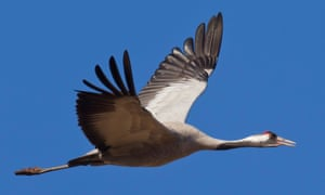 A Eurasian crane in flight