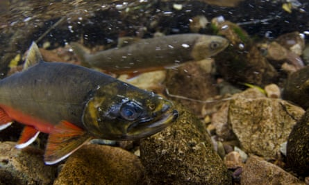 Arctic char, adult male and female