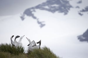 Wandering albatrosses stretch out their wings as they 'dance' for a mate
