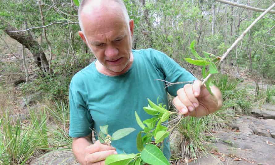 Rod Fensham examining a stand of native guava at Simpson Falls, near Brisbane.