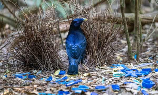 Satin Bowerbird at Lamington National Park