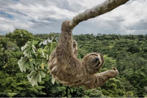 Sloth hanging out  Luciano had to climb the cecropia tree, in the protected Atlantic rainforest of southern Bahia, Brazil, to take an eye-level shot of this three-toed sloth. Sloths like to feed on the leaves of these trees, and so they are often seen high up in the canopy