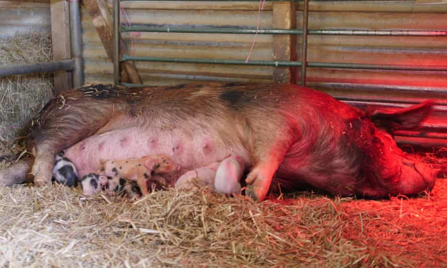 Little Ginge, an Oxford sandy and black sow, with some of her piglets soon after birth