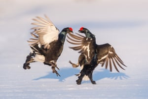 Black Grouse birds in a courtship and mating ritual in Hamra National Park, Sweden