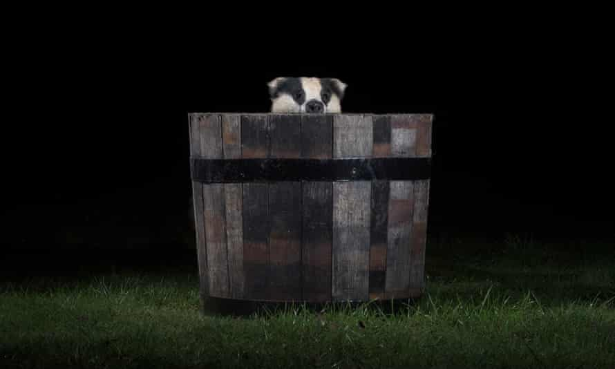 Badger in a barrel: helping to bury bad news, moving the goalposts again, or just dodging vaccination?