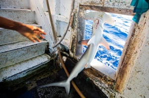 A smooth hammerhead shark, brought up by a Taiwanese longline fishing boat, had its mouth sliced open to remove the hook and is thrown overboard, seemingly dead