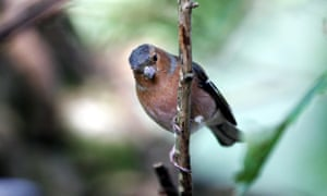 I'm a chaffinch, not a wood pigeon: song identification success rates for the apps were not 100%.