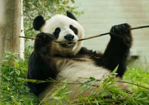 Yang Guang, Edinburgh zoo's male panda, eating bamboo in his enclosure.