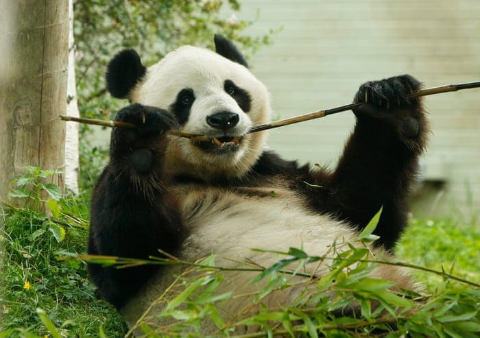Everything you always wanted to know about panda sex (but