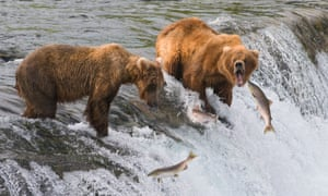 Sckeye salmon jump in front of two bears standing at the top of Brooks Falls in Katmai national park, Alaska
