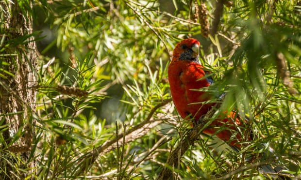 I thank my lucky stars for the rosellas that led to my career in ornithology