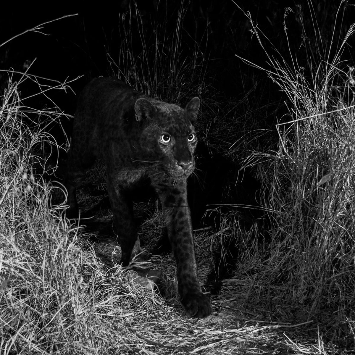 Rare African black leopard captured by camera trap's extraordinary photos |  Animals | The Guardian