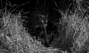 A black leopard at night time in Kenya, photographed with a Camtraptions camera trap.