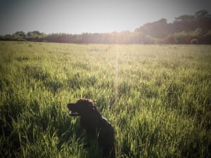 Brown dog taking a breather in sunny crop