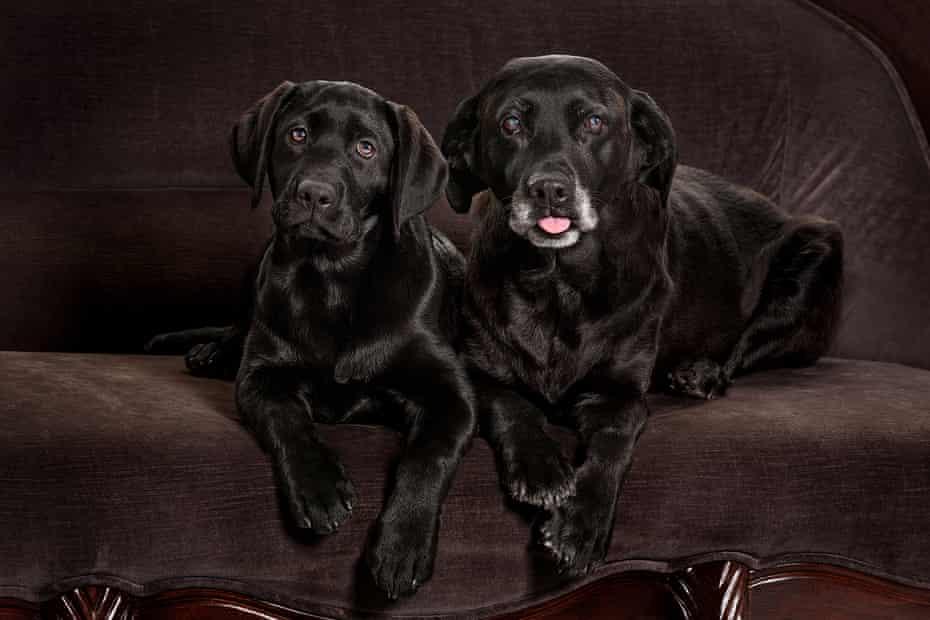 Monni Must's black labrador Billy Bean, right, and his clone Gunni, left.