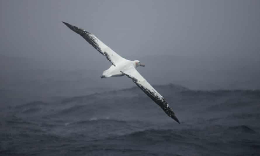 Albatrosses in flight