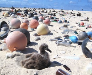 Albatross chicks among marine debris on the beach in the Northwestern Hawaiian Islands