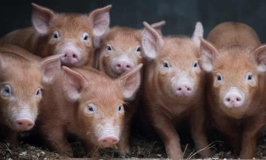 MPs have been accused of striking down an amendment which enshrines the sentience of animals in law