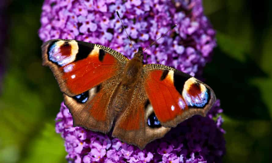 Peacock butterfly on buddleia
