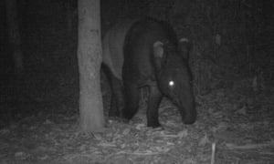 Malayan tapir in the Hadabaun Hills caught on camera trap