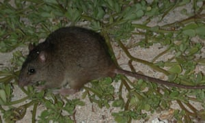 Queensland's Bramble Cay melomys