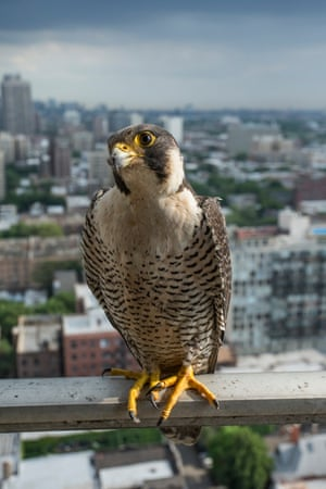 11/06/2015 A peregrine falcon nest diary in Chicago: from brooding to hatching and now fledging.