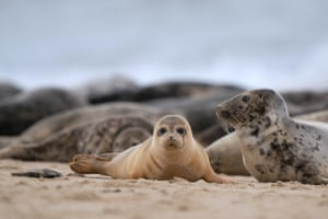 Horsey Gap, UK. A common seal pup on the beach in Norfolk, as hundreds of pregnant grey seals come ashore ready for the start of the pupping season