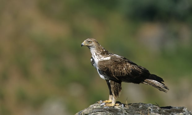 The Spanish Ornithology Society says electrocution is the most common cause of death for the Bonelli's eagle. Photograph: Alamy
