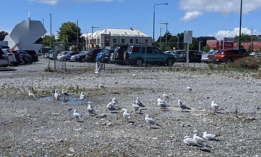 A breeding colony of critically endangered black billed gulls established in the earthquake-damaged site of the former Price Waterhouse Coopers building on Armagh St, Christchurch.