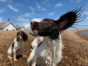 Suffolk, England. Dogs play on the beach at Shingle Street