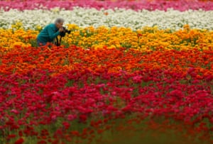 Carlsbad, California, US On the first day of Spring a women crouches down to take a photograph of Giant Tecolote Ranunculus flowers at the Flower Fields