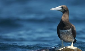 A brown booby near Los Cobanos beach in El Salvador