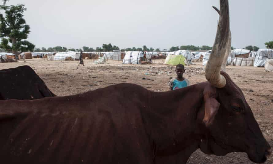 A child and emaciated cattle at the Muna settlement