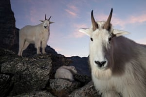 Young Canadian Connor Stefanison won this year's Fritz Pölking junior prize with a 'varied, informative and incredibly well-executed portfolio' on mountain goats.