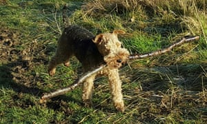 A dog carrying a stick in its mouth.