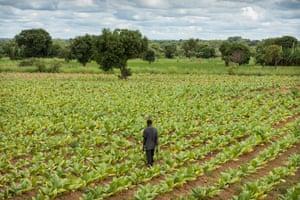 A tobacco field at a farm in Kasungu region, Malawi
