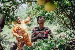 Women harvest oranges