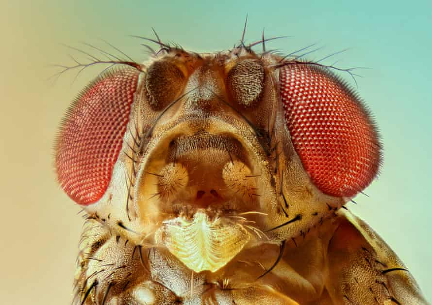 the head of a fruit fly in close up