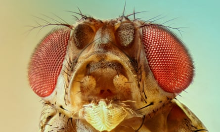 Drosophila melanogaster: 'It's almost as if they were designed to help scientists'.
