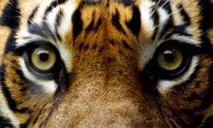 Captive specimen of he endangered Sumatran Tiger, which roams the unexplored Hadabaun Hills.