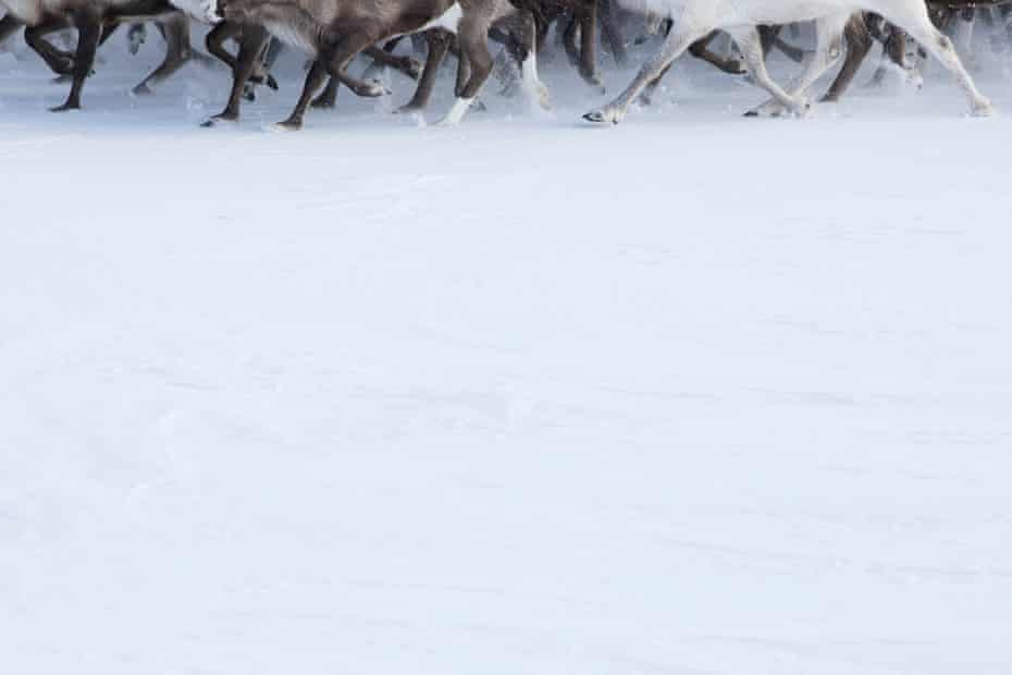 Reindeer in Yamal peninsula.