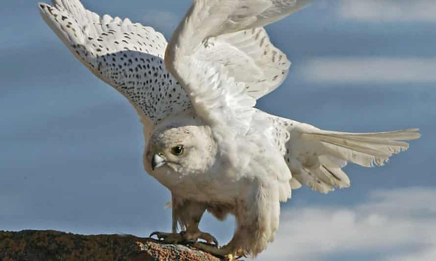 Air Force's mascot is a white gyrfalcon, similar to this one photographed in the Canadian Arctic