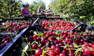 Cherry harvesting in Russia