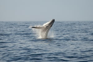 A humpback whale breaching in the open ocean.