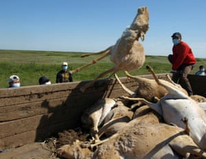 Saiga carcasses are tossed into a trailer