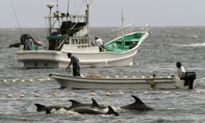 Fishermen drive bottle-nose dolphins into a net during their annual hunt off Taiji, Japan.