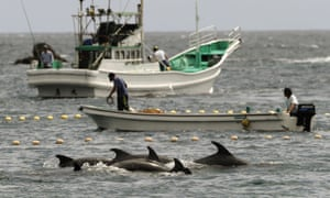 Fishermen drive bottlenose dolphins into a net during the annual hunt off Taiji
