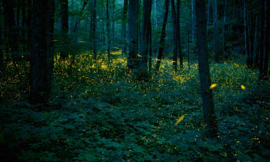 Synchronous fireflies (Photinus carolinus) illuminating the forests of Smoky Mountains National Park, Tennessee